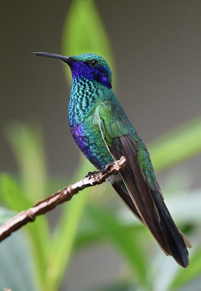 hummingbird, bird, nature